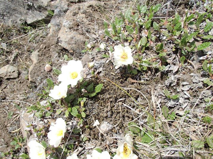 Mountain Avens - Dryas octopetala