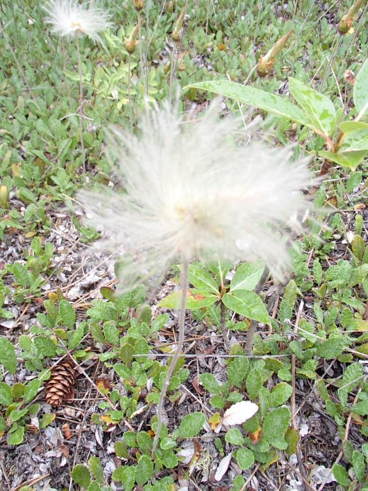 Wind flower seedhead