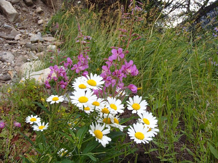 Oxeye daisies with Fireweed