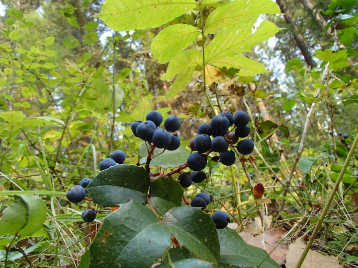 Mahonia nervous -Dull Oregon-grape