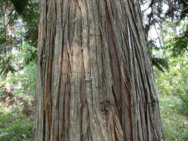 Stringy cedar bark