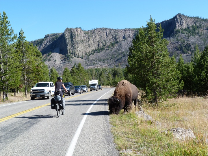 Trying to cycle past a Bison without upsetting him