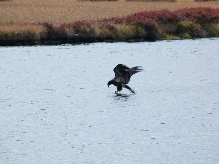 This eagle was trying to get a carcass out of the river